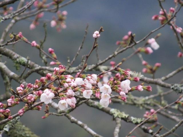 桜開花IMG_0640平成30年3月20日
